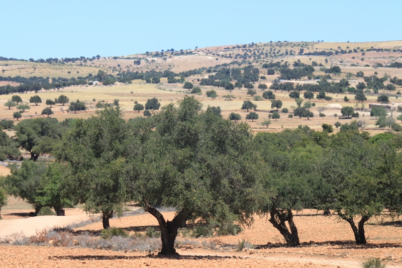 Argan forest in Morocco